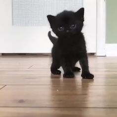 just a black kitten discovering to stroll that majestic walk On Hate Cats, Funny Cats And Dogs, Cats And Kittens, Black Kittens, Baby Animals, Funny Animals, Cute Animals, Christmas Cat Memes, Gavin Memes