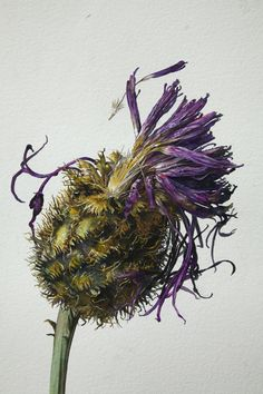 Greater knapweed. The finished painting by Rosie Sanders