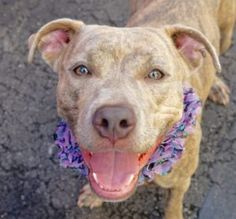 URGENT !!! - 8/2/16 SL! FEMALE, GR BRINDLE / WHITE, PIT BULL MIX, 1 yr STRAY – ONHOLDHERE, HOLD FOR EVICTION Reason ABANDON Intake condition UNSPECIFIE Intake Date 07/02/2016, From NY 10456, DueOut Date 07/11/2016, I came in with Group/Litter #K16-063971.