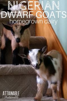 Nigerian Dwarf goats are a great choice for any size homestead, who are short on space. Nigerian goats are the perfect small scale dairy animal.