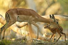 A mother antelope grooming her baby, Okavango Delta, Botswana National Geographic Images, National Geographic Photographers, Baby Wolves, Okavango Delta, Mothers Love, Royalty Free Images, Habitats, Cute Pictures