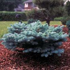 Picea pungens 'Glauca Globosa' | Conifer Collection ...