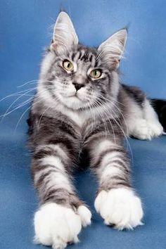 polydactyl cats - Google Search