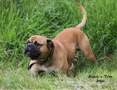 AP Athos Continental Bulldog Male  www.asgards-pride.com