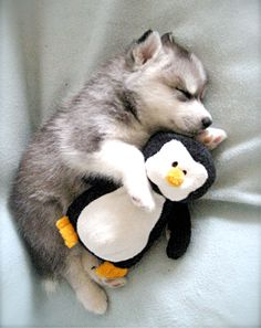 Husky puppy cuddling stuffed animal penguin -- I think he loves penguins as much as I do