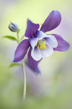 Aquilegia vulgaris L. (European columbine, Common columbine, Granny's nightcap, Granny's bonnet) is a species of columbine native to Europe.