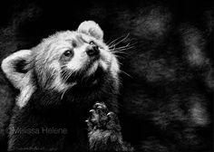 Melissa Helene Fine Arts and Photography   Blog: Red Panda   Endangered Species Series www.melissahelene.com #endangeredspecies #wildlife #savetheanimals