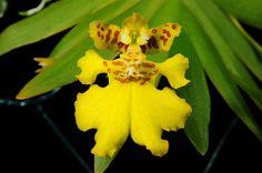Erycina pusilla; by Nurelias, via Flickr