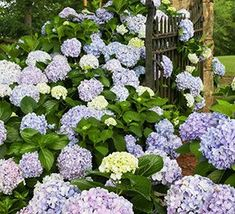 From spring to fall Dear Dolores hydrangeas will put on a show of marvelous blue, or pink blooms accompanied by it's mounding green foliage. Dear Dolores is a great choice for a shady area of your yard, or makes a great container plant on your porch. Pruning Hydrangeas, Hydrangea Shrub, Hydrangea Macrophylla, Hydrangea Care, Hydrangea Not Blooming, Hydrangea Flower, Hydrangea Varieties, Flowers, Smooth Hydrangea
