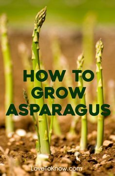 Asparagus is a perennial vegetable. It takes three years from planting to get an appreciable crop, but the fresh asparagus is well worth the wait. A well-maintained asparagus patch will yield for 15 to 30 years.