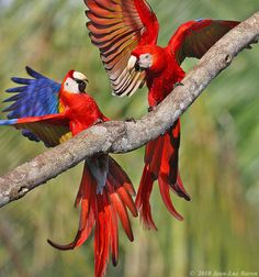 f♥ღ ♥ scarlet macaws