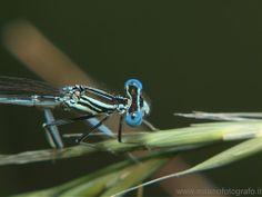 Male Platycnemis pennipes