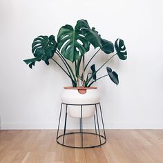 Monstera perfection