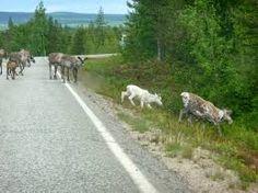Image result for jemina staalo kissa kissoja Country Roads, Animals, Image, Animales, Animaux, Animais, Animal