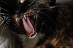 Cat Yawn my what big teeth you have