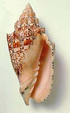 Hebrew volute (Woluta ebraea) The Hebrew volute is a species of medium-sized sea snail, a marine gastropod mollusk in the family Volutidae, the volutes. The Hebrew volute is endemic to Brazil