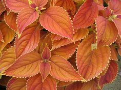 Gorgeous coleus... love these for shady areas.