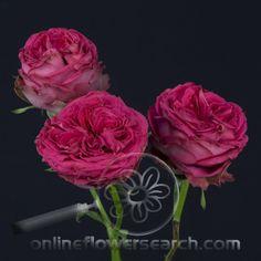Magic Pepita Rose Varieties, Flora, Roses, Gardening, Magic, Plants, Pink, Photos, Pictures