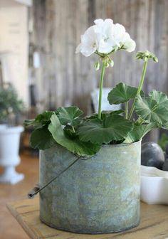 Gėranium blanc