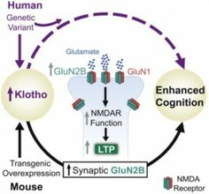 How Klotho enhances cognition (credit: Dena B. Duval/Cell) A variant of the gene KLOTHO is known for its anti-aging effects in people fortunate enough to Nmda Receptor, Regenerative Medicine, Life Extension, Young Life, Brain Health, Genetics, Anti Aging, Cancer, Learning