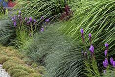 TRAWIASTA KOMPOZYCJA Pokładające się kępy spartyny, niziutka kostrzewa Gautiera i kwitnąca liliowo liatra o trawiastych liściach. Lany, Herbs, Herb, Medicinal Plants