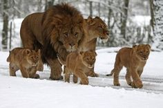 Grognards: Lion Family On Winter Holiday http://www.picso...