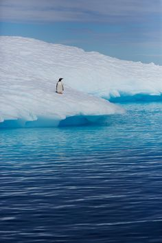 Gentoo penguin on an iceberg in Antarctica. Going swimming is a matter of perspective.