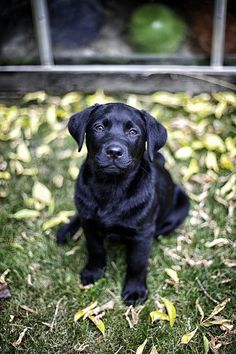 Black Labrador Retriever #pet girl #pet boy #Cute pet| http://petgirl.lemoncoin.org