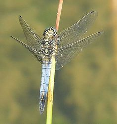 Dragonfly Pictures - Black-Tailed Skimmer, Orthetrum cancellatum male