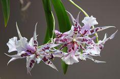 Beallara Peggy Ruth Carpenter 'Morning Joy' | Flickr - Photo Sharing!