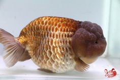 Sungai goldfish Koi farms Shuangxi Goldfish & Koi farm: Importers Ranchu, sulfur gold, lion, butterfly tail: [Taiwan's best quality goods] a 17 cm purple orchid Kanoko life