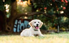 Swirltography - Luna the golden retriever puppy