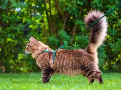 maine-coon-on-leash-SW