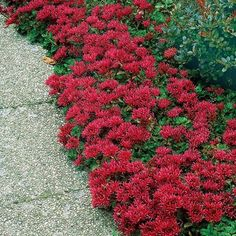 "DRAGONS BLOOD SEDUM (Gaura lindheimeri) Perennial; Ht: 3""-6"" Light: Sun. Spread: 12""  Soil: Well Drained. Fast-growing ground cover with brilliant red foliage. A succulent with needle-like leaves which turn vibrant orange-red in fall. The more sun it gets, the more intense the foliage becomes. Exceptionally tolerant of heat and drought and also tolerate cold and being planted in poor dry soil. Low growing Sedum is used for containers borders, edging and as a dense spreading groundcover."