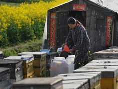 A Chinese farmer tends to bees producing honey to supplement her income at a farm in China's Anhui province.