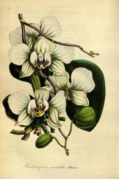 """Phalænopsis amabilis, Blume -- """"Flore des serres et des jardins de l'Europe"""" v.1 (1845), ed. by Louis van Houtte"""