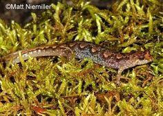 Tennessee Watchable Wildlife | Ocoee Salamander - Desmognathus ocoee  One of five species formerly lumped together and called the Mountain Dusky Salamander, the Ocoee Salamander is best told from its near relatives (the Carolina Mountain Dusky Salamander, the Blue Ridge Dusky Salamander, the Allegheny Mountain Dusky Salamander, and the Cumberland Dusky Salamander) by it range. It is found in the southeastern corner of Tennessee in the Cumberland Plateau and Blue Ridge Mountain sections.