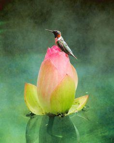 Hummingbird and the Lotus by Jai Johnson