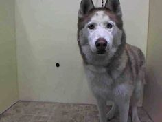 Manhattan Center   BUDDY - A1018336  NEUTERED MALE, BROWN / WHITE, SIBERIAN HUSKY, 2 yrs STRAY - STRAY WAIT, NO HOLD Reason STRAY  Intake condition UNSPECIFIE Intake Date 10/22/2014, From NY 11236, DueOut Date 10/25/2014, https://www.facebook.com/Urgentdeathrowdogs/photos/a.617938651552351.1073741868.152876678058553/891867570826123/?type=3&theater