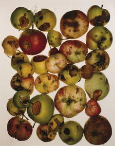 Irving Penn (1917-2009) -  Red Apples, New York, 1985   Tirage cibachrome (95,7…