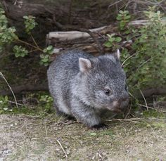 wombat Found a baby wombat at Hurstbridge-Wattle Glen. Cute Baby Animals, Animals And Pets, Animals Of The World, Exotic Animals, Strange Animals, Cute Australian Animals, Mammals, Reptiles, Quokka