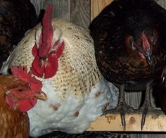Egg Bound Chickens - Symptoms & Treatment