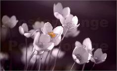 Poster Herbst-Anemone, Anemone hupehensis