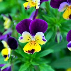When I was a little girl, my maternal grandfather gave me a necklace that was a tiny purple and white pansy. He died when I was 6, and I never really got to know him, but every time I see a pansy, I think of him and feel warm inside. This would be a beautiful wrist tattoo.