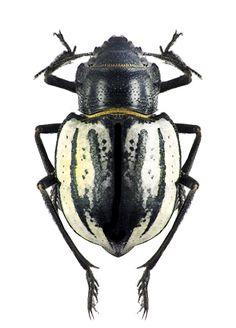 Sternodes caspicus - TENEBRIONIDAE