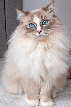 This mesmerizing Ragdoll cat is Queen Snowflake. This is cat perfection! Cute Cats And Kittens, Cool Cats, Kittens Cutest, Funny Kittens, White Kittens, Black Cats, Beautiful Cat Breeds, Beautiful Cats, Comic Cat