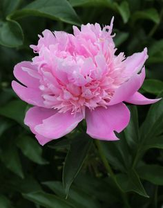 Tips For Gardening 5 Tips for Growing Peonies - Longfield Gardens - Peonies are one of America's best-loved perennials. If you're thinking about growing peonies, here are some tips to help ensure your success. Summer Flowers, Colorful Flowers, Pink Flowers, Beautiful Flowers, Red Peonies, Cut Flowers, Growing Peonies, Home Vegetable Garden, Peonies Garden
