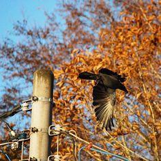 【yasu_hassy】さんのInstagramをピンしています。 《#photo#nature#nikon#写真好きな人と繋がりたい#写真撮ってる人と繋がりたい#japan#Lovers_Nippon#森#forest#crow #crows #野鳥 #写真 #tree #trees#mountain #mountains #naturelovers #景色 #自然 #bird #birds #東京カメラ部 #wild #wildlife #outdoors #nippon》