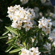 Choisya Aztec Pearl - Pretty evergreen foliage and fragrant flowers