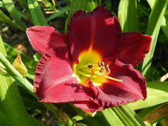 Woodside Velour Daylily - My Humble Home and Garden